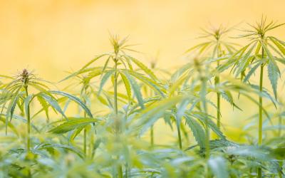 La Historia Del Cannabis