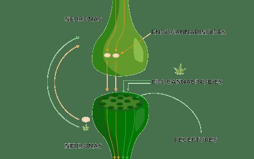 Partes del sistema endocannabinoide