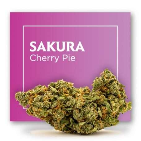 Flor de CBD INDOOR - SAKURA (aka. Cherry Pie) –
